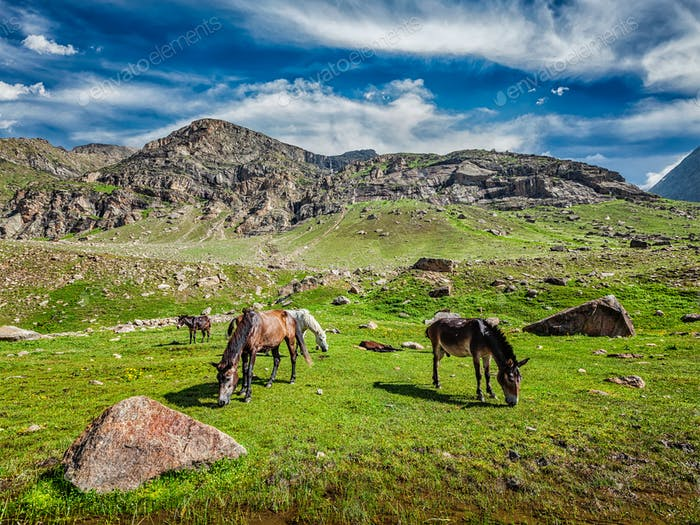Horses grazing in Himalayas