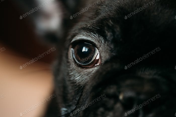 Close Up Eye Of Young Black French Bulldog Dog Puppy. Funny Dog