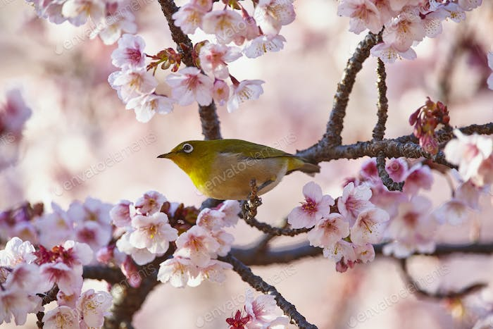 Close up of Japanese white-eye, Zosterops japonicus, a bird perching among the cherry blossom on a