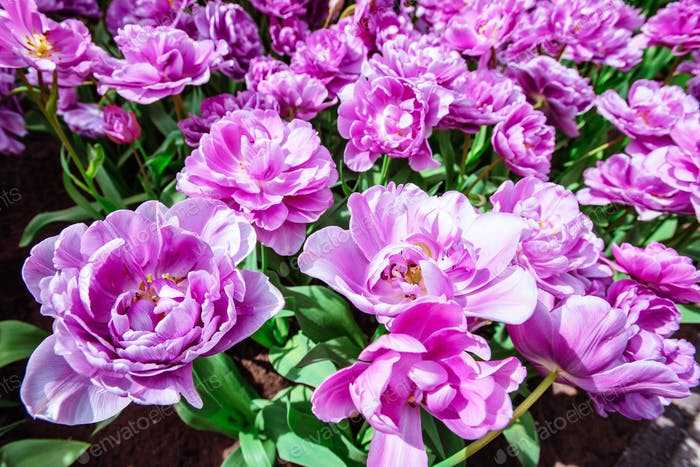 Marvellous tulip flowers in the Keukenhof park.