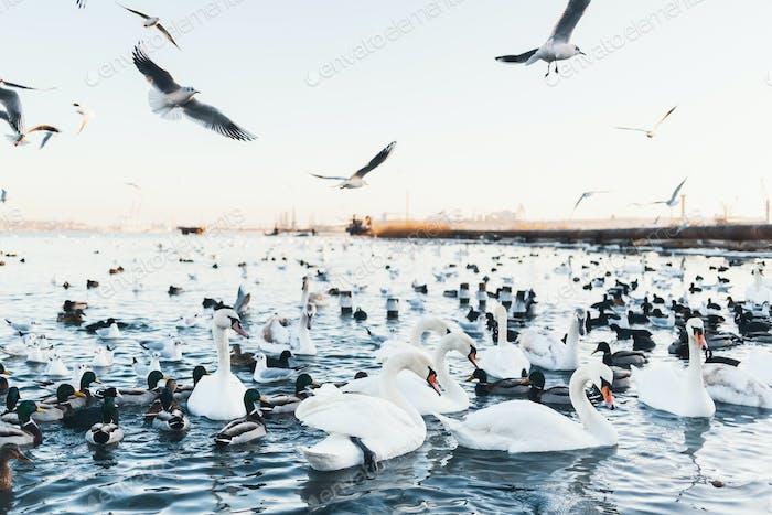 White swans, wild ducks and gulls swimming in sea water in winter