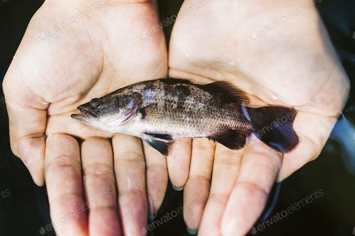 Hoher Winkel Nahaufnahme der Hände hält einen kleinen Barramundi Fisch.