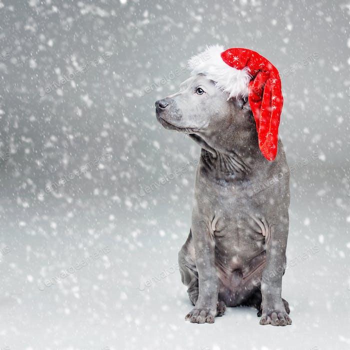 thai ridgeback puppy in xmas hat