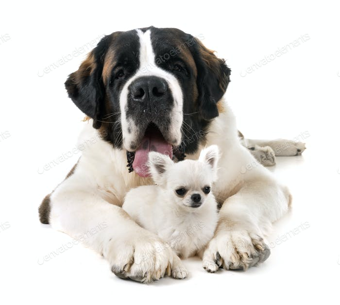 saint bernard and chihuahua