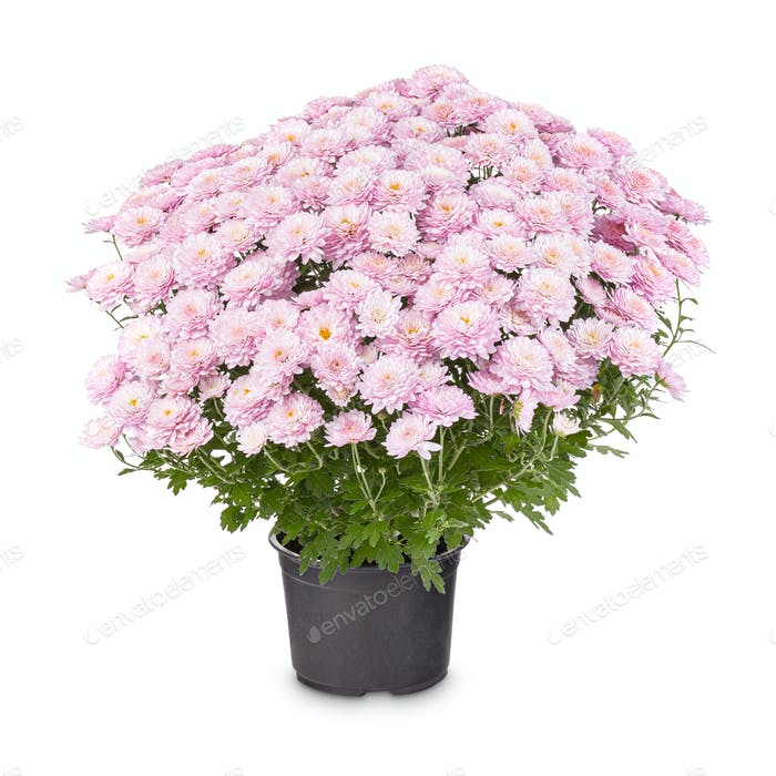 Beautiful light pink Chrysanthemum