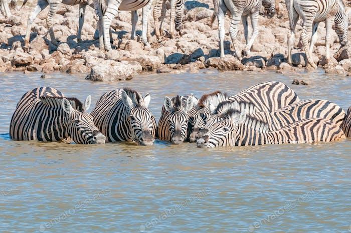 Burchells zebras drinking water in a waterhole in Northern Namibia
