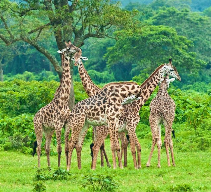 Giraffe in the park16