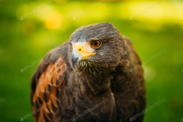 The Harris's hawk (Parabuteo unicinctus) is a medium-large bird