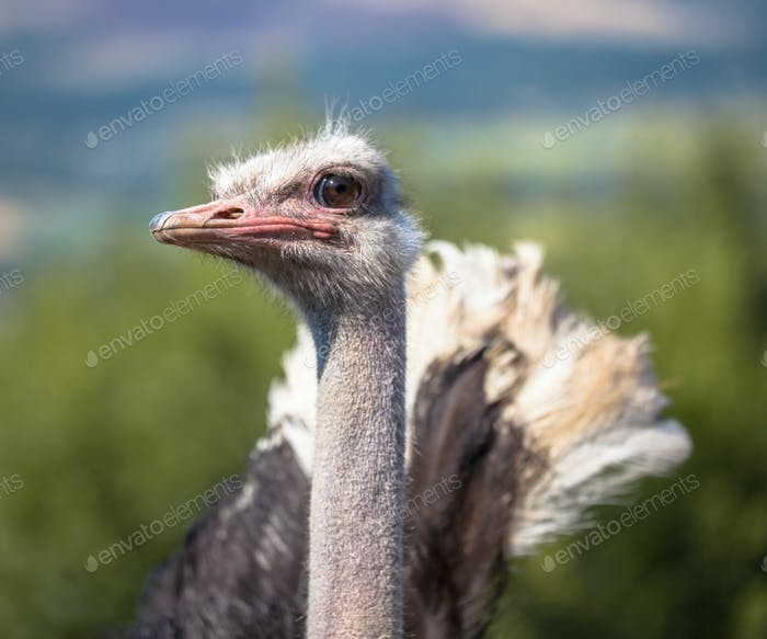Potrait of a Displaying African Ostrich in Natural Environment