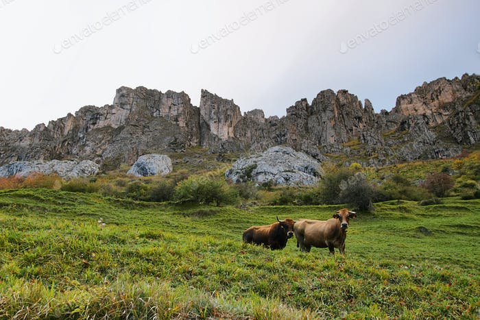 Cows in Somiedo natural park in Asturias, spain