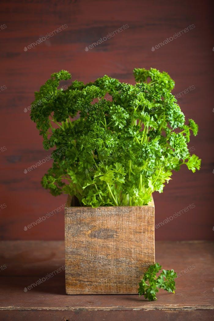 fresh parsley herb in wooden pot