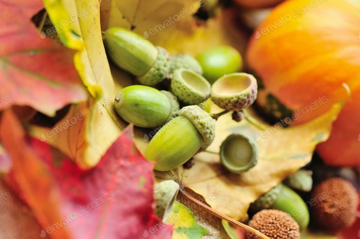 Harvested acorns with autumn leaves