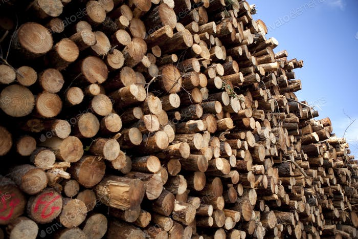 Logs of wood and pine cut in a forest