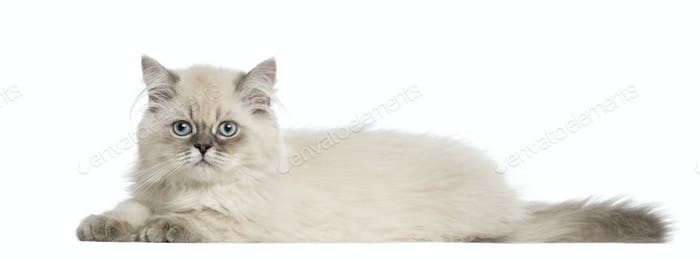 Side view of a British Longhair kitten lying, 5 months old, isolated on white