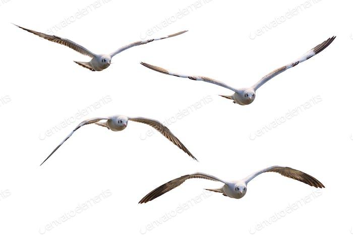 Vier weiße Möwen fliegen