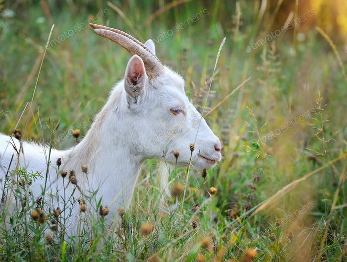 Portrait of a white goat in the pasture