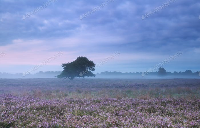 misty morning on heather flowering meadow