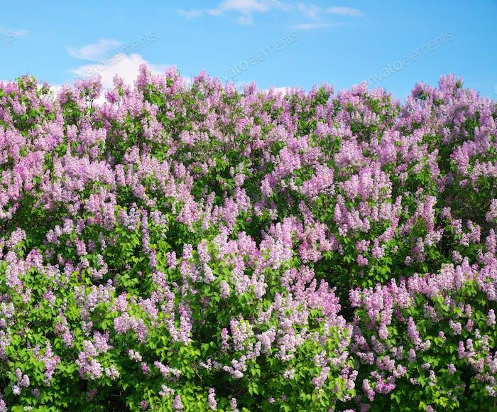 Flieder Blume Textur.