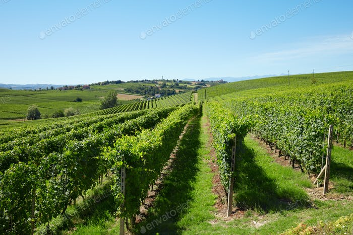 Green vineyards in a sunny day, blue sky in Italy