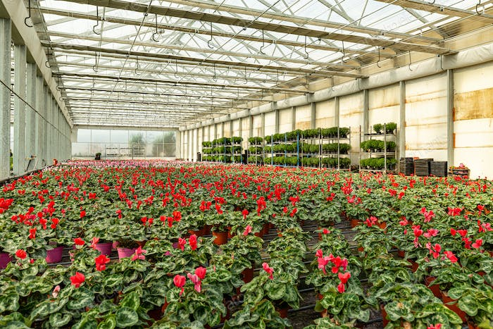 Cultivation of ornamental plants