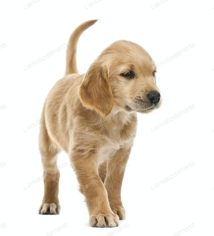 Golden retriever puppy, 7 weeks old, looking away against white background