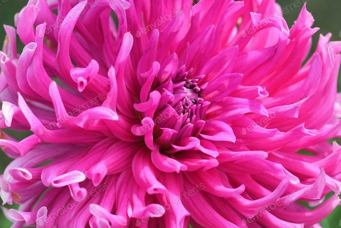 Rosa Blume von Chrysantheme Nahaufnahme