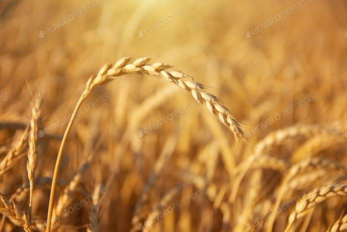 Einzelohr Weizen.