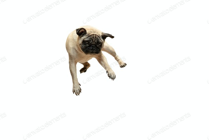 Cute pet dog pug breed jumping with happiness feeling