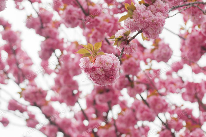 Beautiful blooming sakura branches close up in sunny light. Pink japanese cherry blossoms in spring