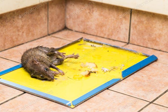 Ratte auf Einweg-Leimfalle-Brett auf Küchenboden gefangen