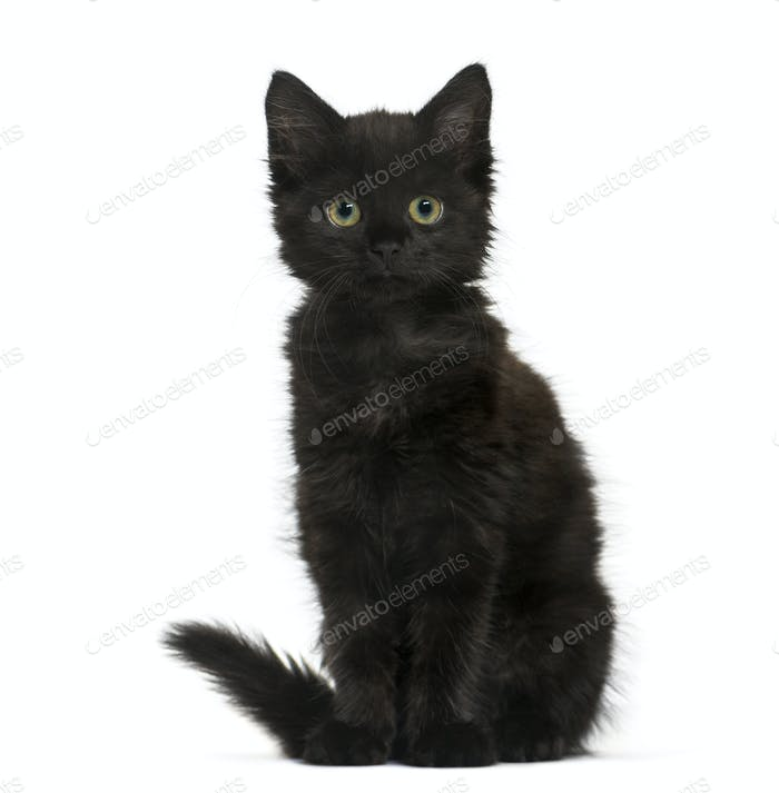 Black cat kitten sitting and looking at the camera, isolated on white