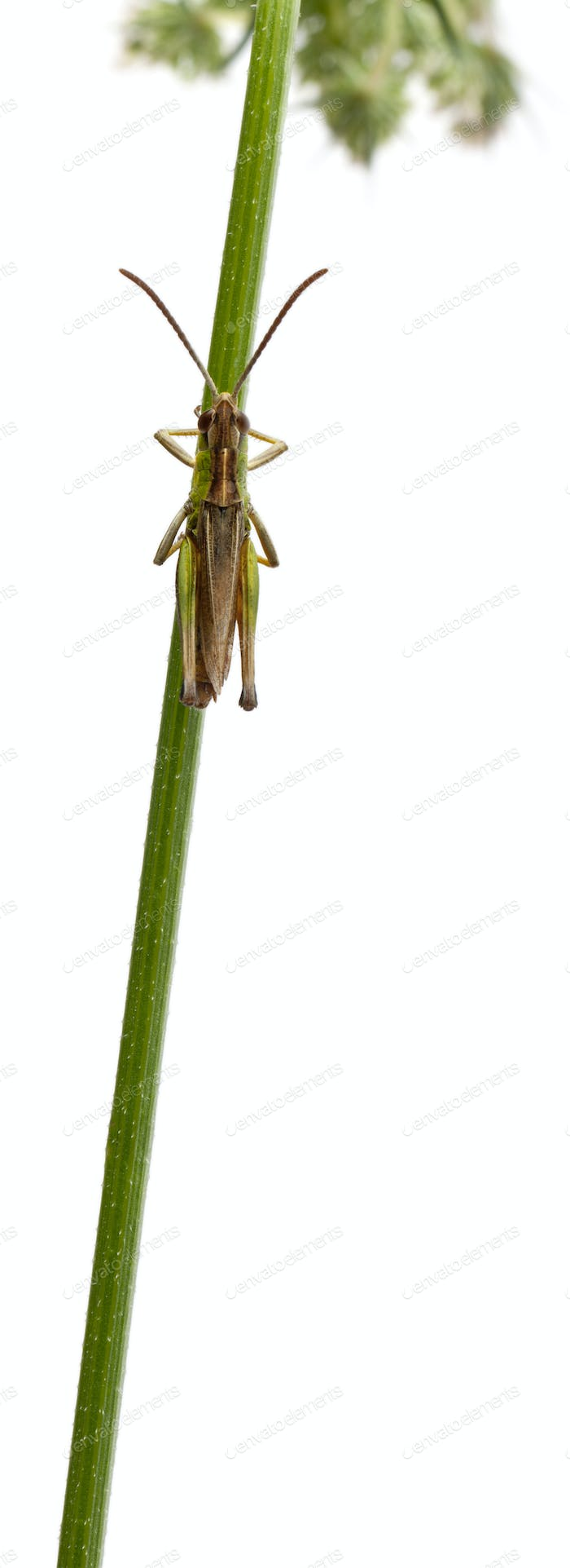 Grasshopper on a stem in front of white background