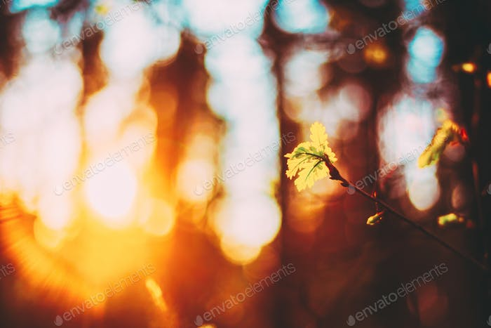 Sunset In Spring Forest. Young Leaf In Sunlight