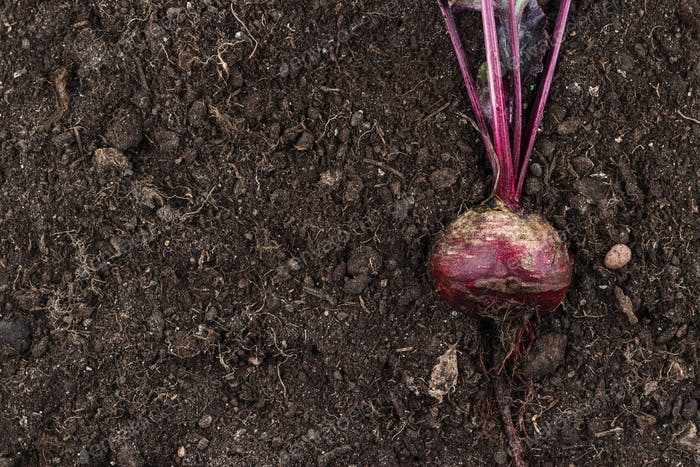 Beetroot On The Ground