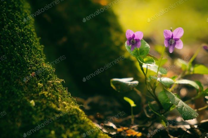 Violet on the spring forest