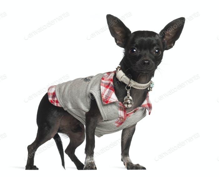 Thumbnail for Chihuahua standing against white background