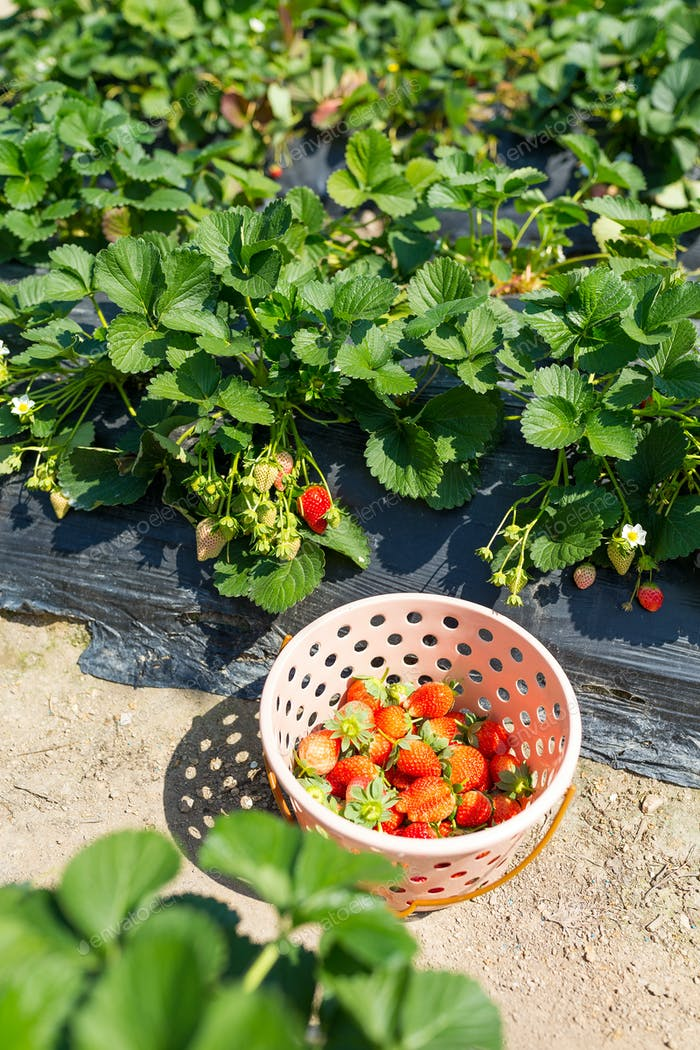 Picking of Fresh Strawberry