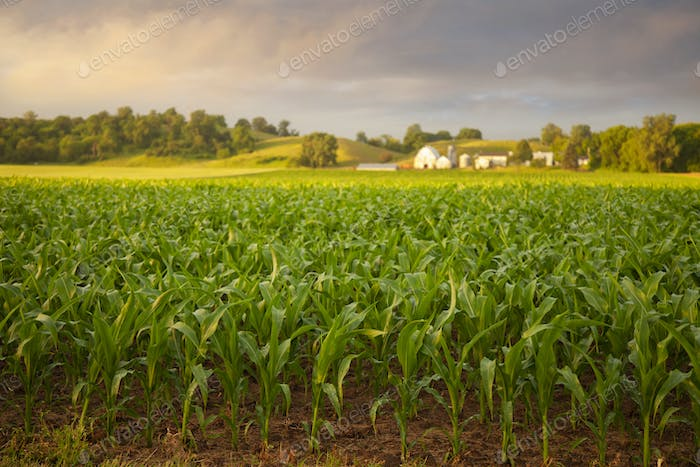 Selective focus early morning view of young corn and a farm on a rainy day