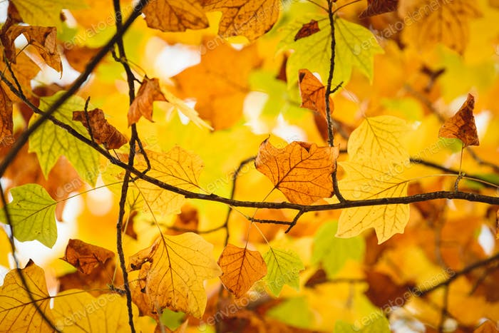 Background group autumn orange leaves. Fall season