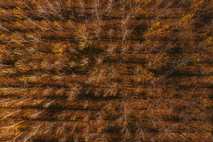 Top view of cottonwood aspen tree forest in autumn