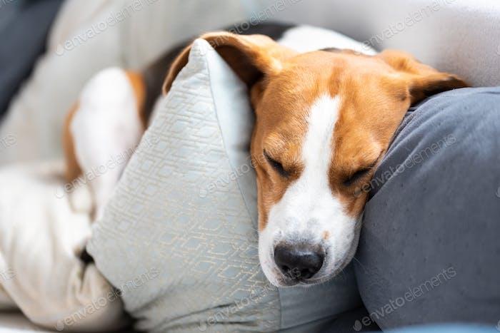 Funny beagle dog sleeps on cozy sofa