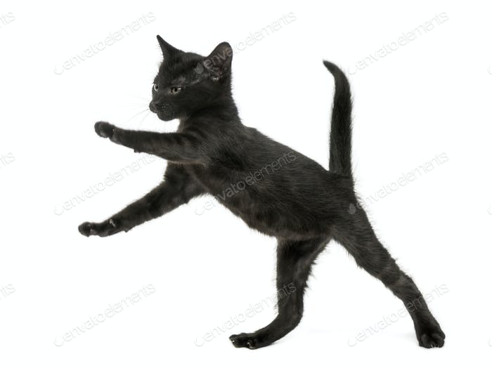 Schwarzes Kätzchen auf Hinterbeinen stehend, spielen, 2 Monate alt, isoliert auf weiß