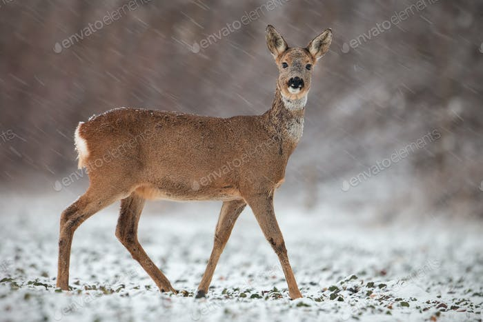 Roe deer, capreolus capreolus, doe in wintertime during a snowfall