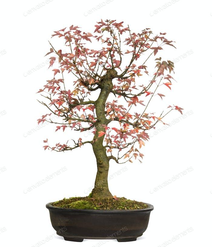 Trident Ahorn Bonsai Baum, Acer buergerianum, isoliert auf weiß