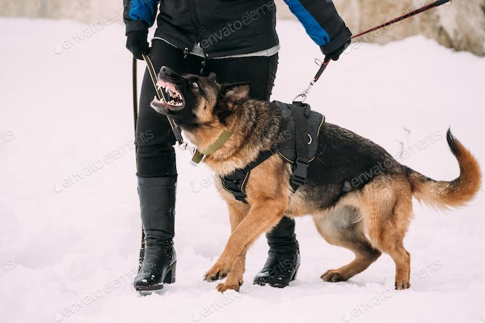 Training Of Purebred German Shepherd Adult Dog Or Alsatian Wolf