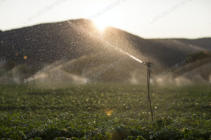 Detail of a sprinkler during the irrigation of a basil field at
