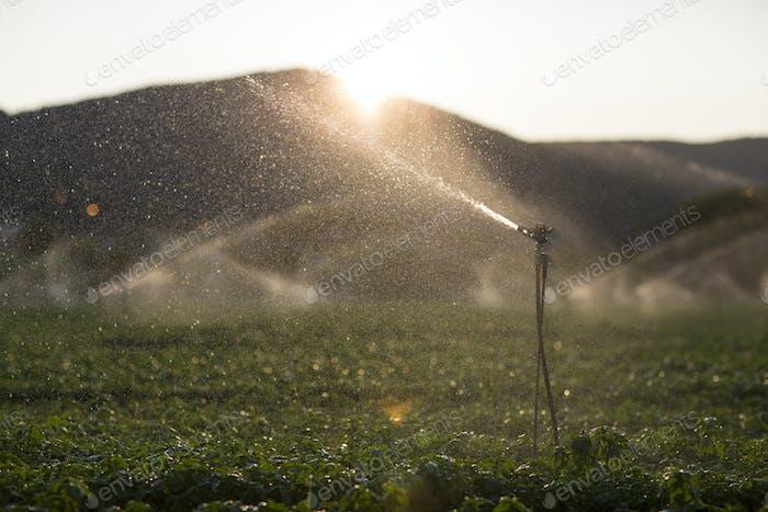Detail eines Sprinklers während der Bewässerung eines Basilikumfeldes bei