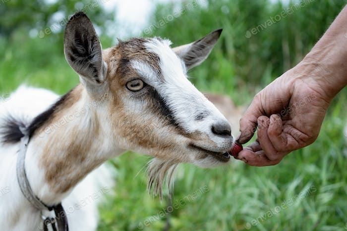 Unrecognizable farmer feeding goat with cherry