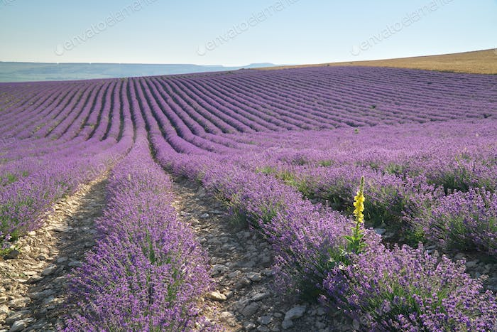Meadow of lavender at day