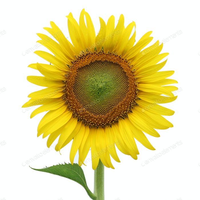 Gelbe Sonnenblume isoliert auf weiß